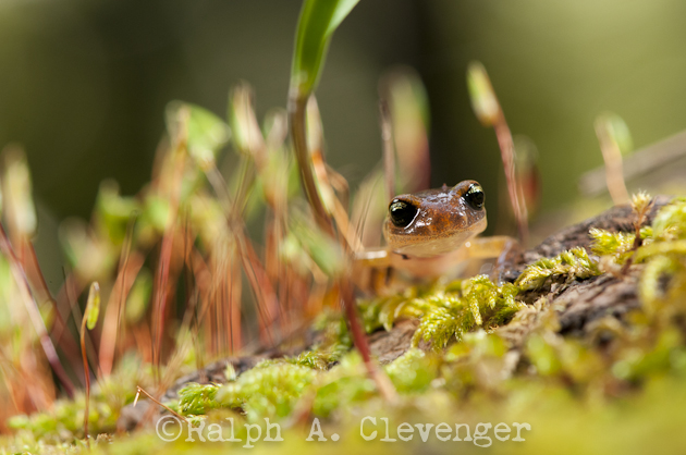 Ensatina in little forest of moss.